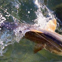 redfish1